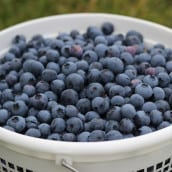 Preserving Blueberries for the Whole Year