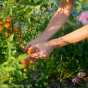How to Prune Your Tomato Plants