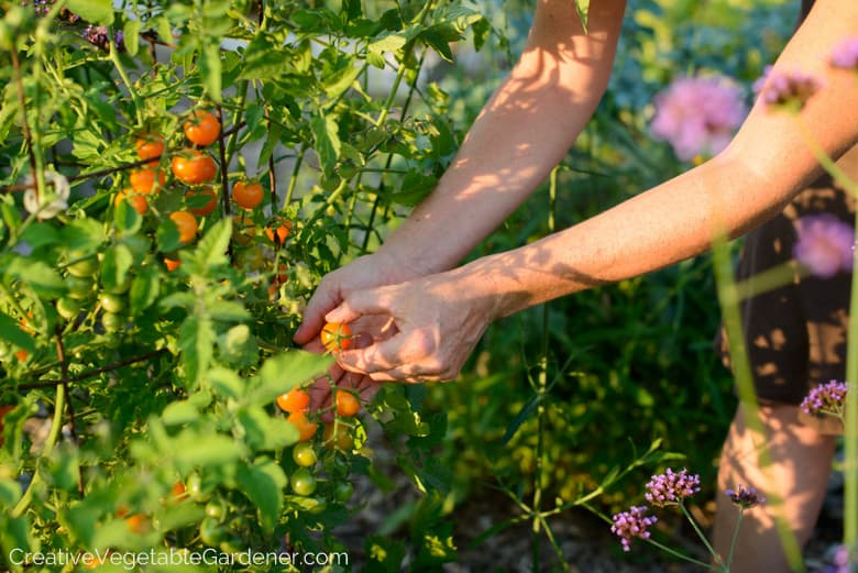 How to prune tomato plants