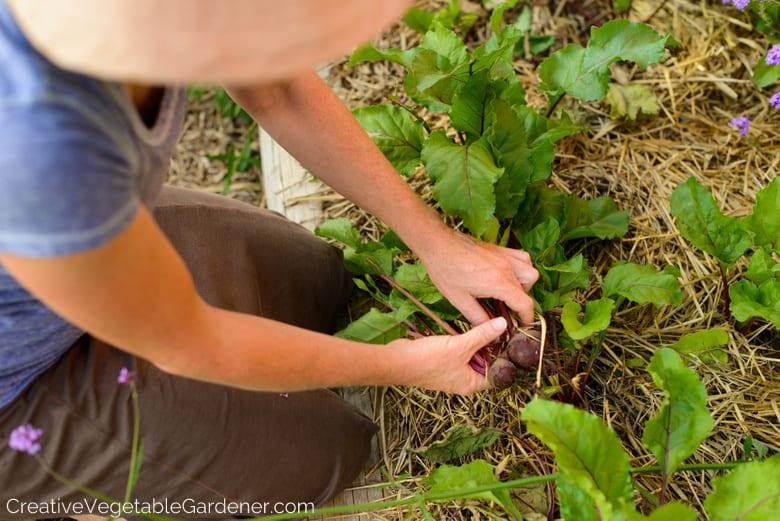 woman harvesting beets in garden