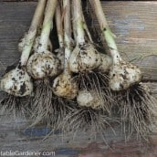 How to Harvest & Cure Garlic