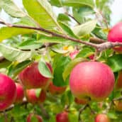 Tips for Growing Fruit Trees Organically