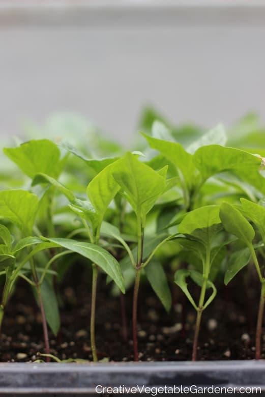 pepper plants for garden