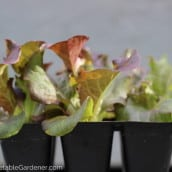 When you buy vegetable plants- don't make this mistake!