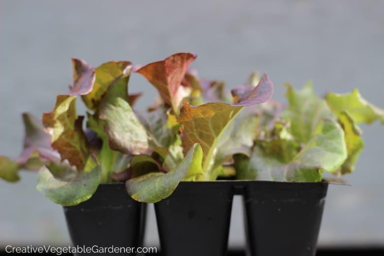 Lettuce seedlings for the vegetable garden
