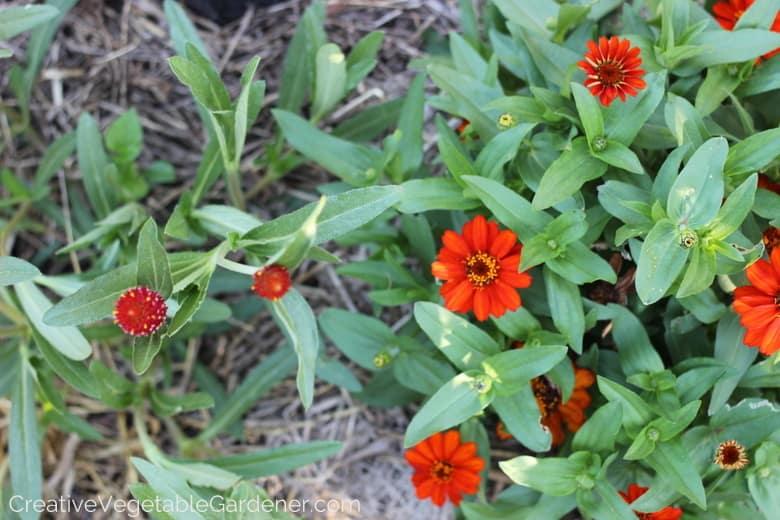 vegetable garden flowers in orange and red