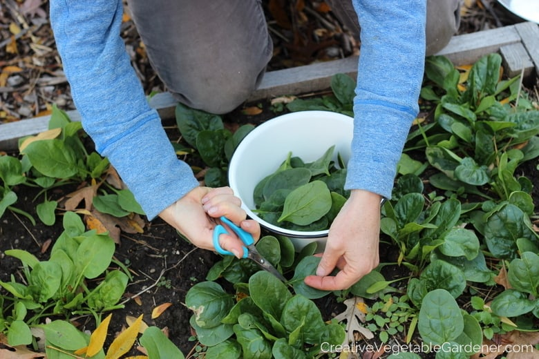 harvesting fall spinach from garden bed