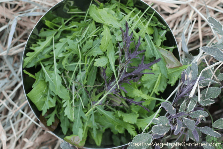 harvesting salad mix from growing a fall garden