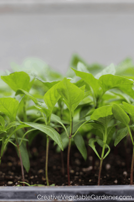 how to germinate pepper seeds