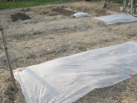 The spring garden - hay mulch and row cover.