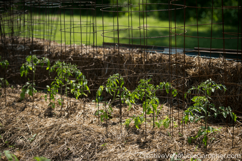 tomato plants with vegetable garden mulch