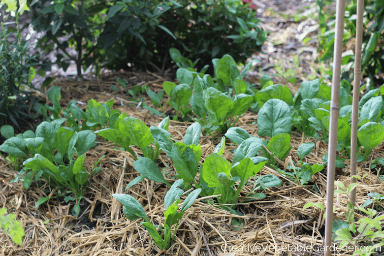 fall spinach growing in garden