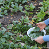 Fall Spinach: Why It's the Most Amazing Vegetable to Grow