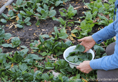 harvesting fall spinach