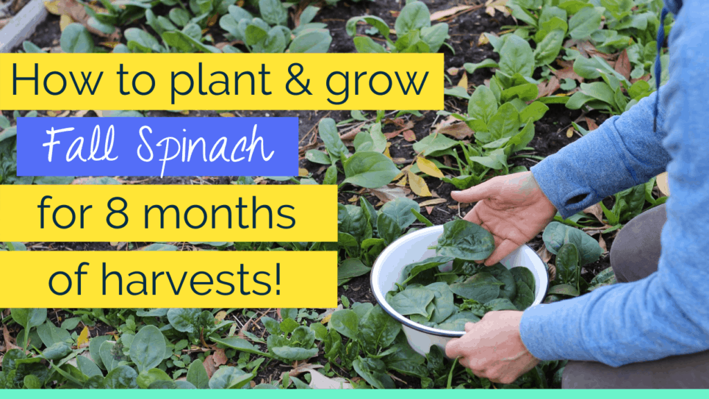 growing fall spinach