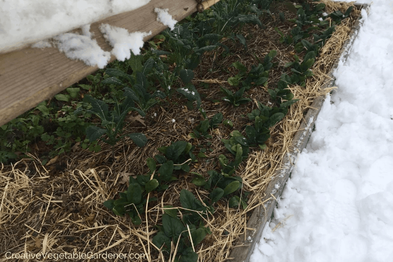 harvesting fall spinach in the snow