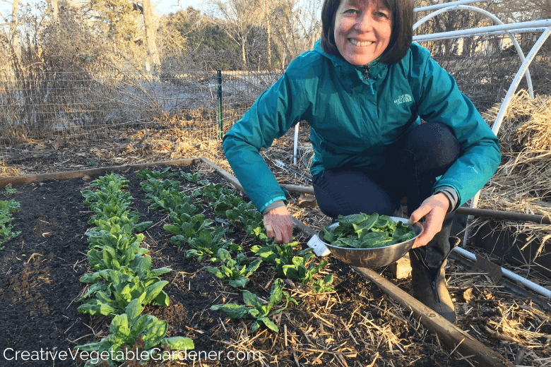 woman harvesting winter grow spinach