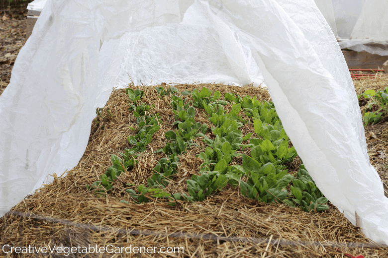 fall spinach covered in row cover