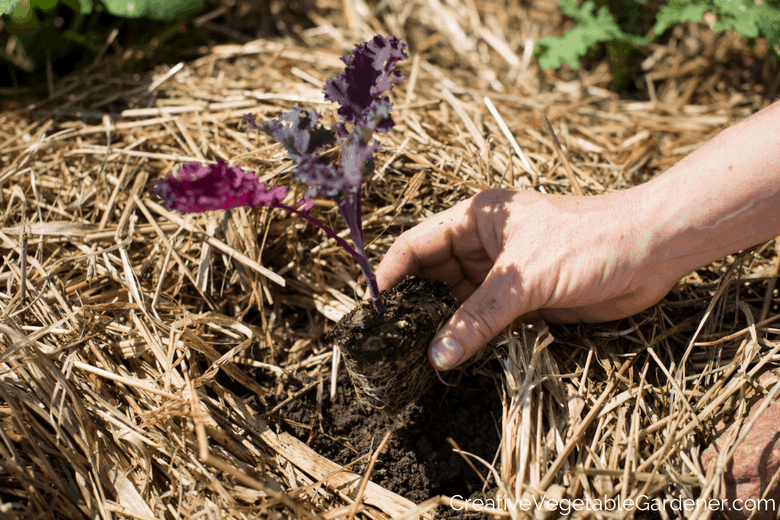 planting kale in a community garden plot