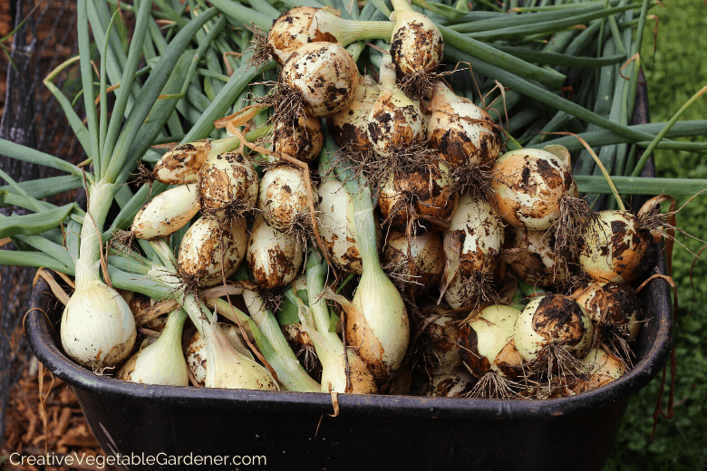 harvesting and growing onions