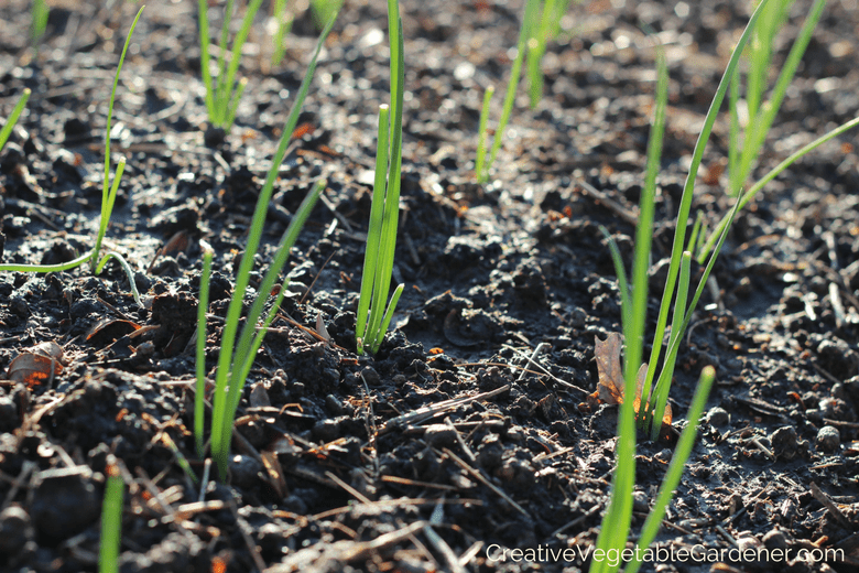 onions planted in the garden