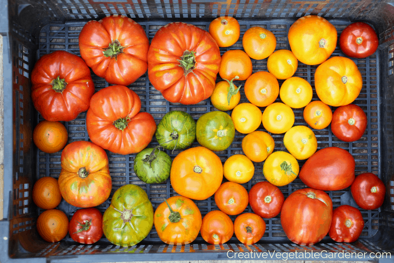 tomato harvest ready for food preserving