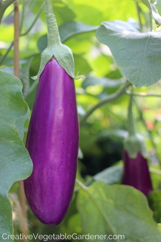 purple-eggplant