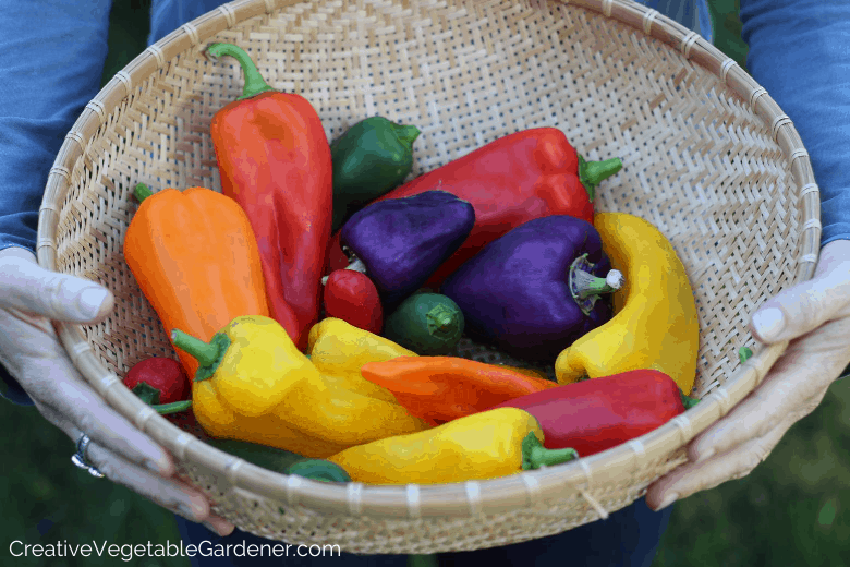 basket of peppers from garden