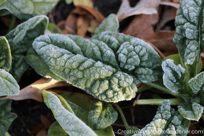 spinach with frost how to protect plants from frost with row cover