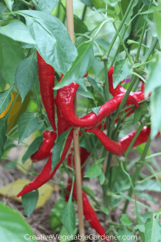 pepper plants growing in garden