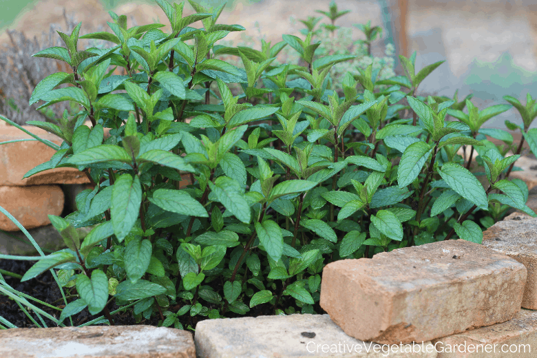 mint growing in herb spiral