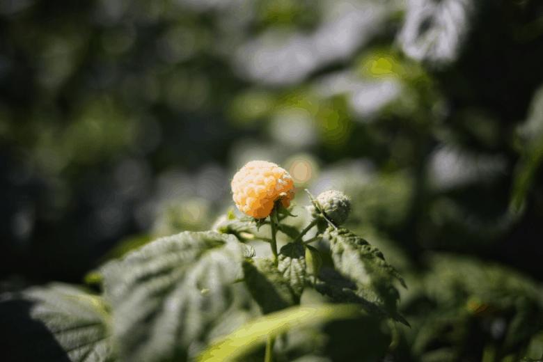 plant yellow raspberries