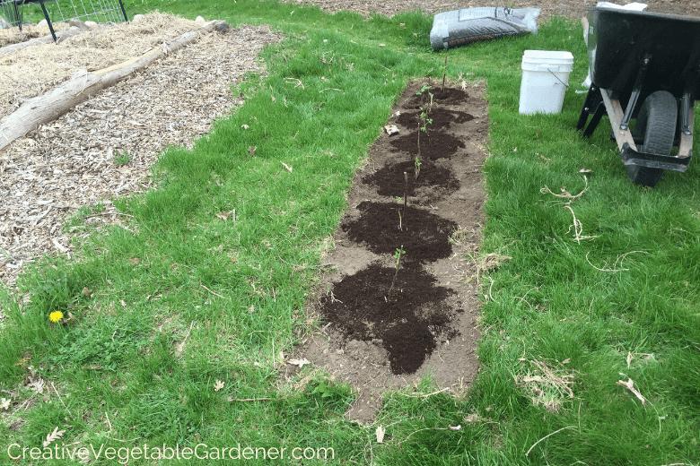 planting raspberries in the garden