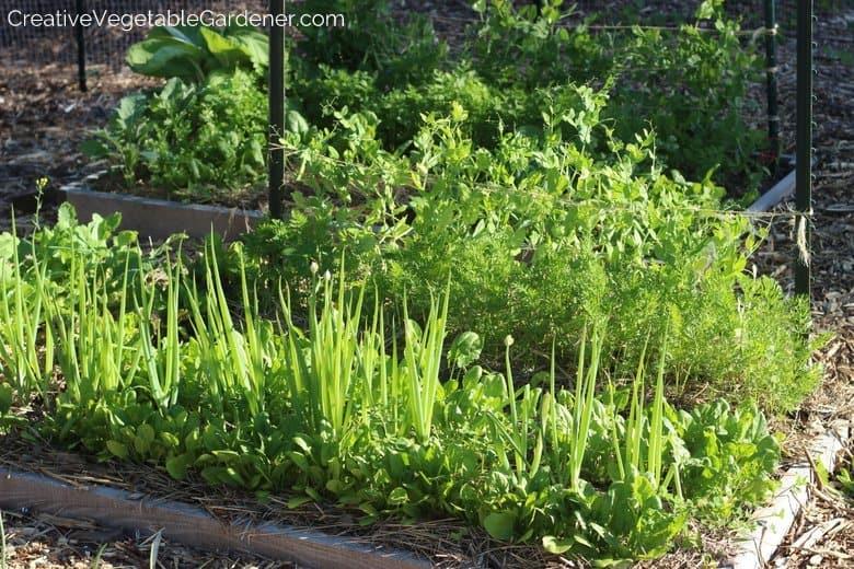 Spring salad garden