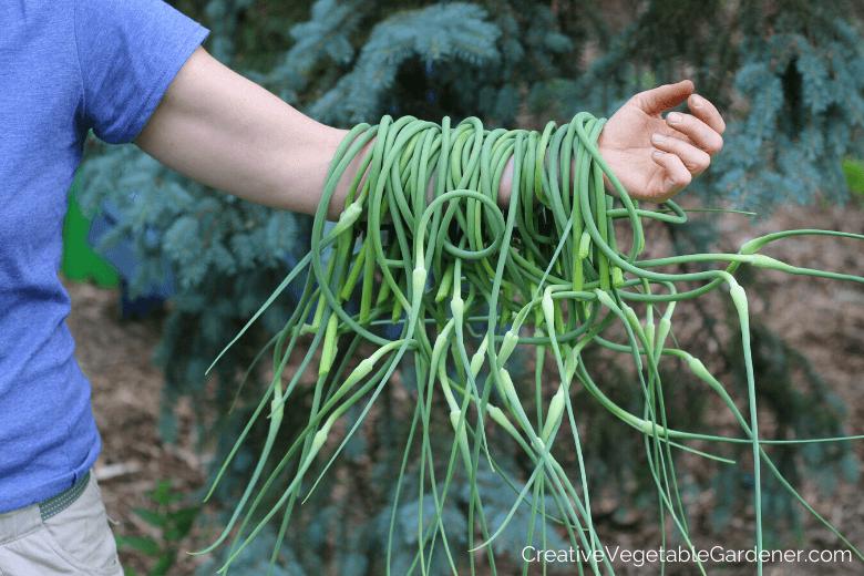 harvesting garlic scapes