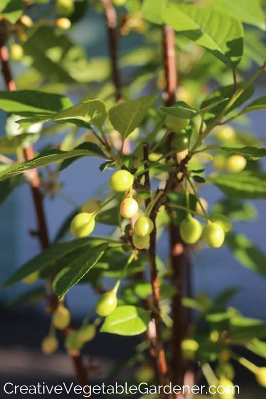 growing fruit trees in the garden
