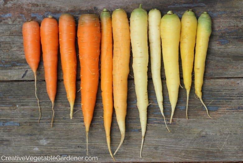 Colorful Carrots Vegetable Garden
