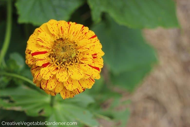 Flowers for Vegetable Garden