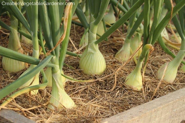 Onions Vegetable Garden