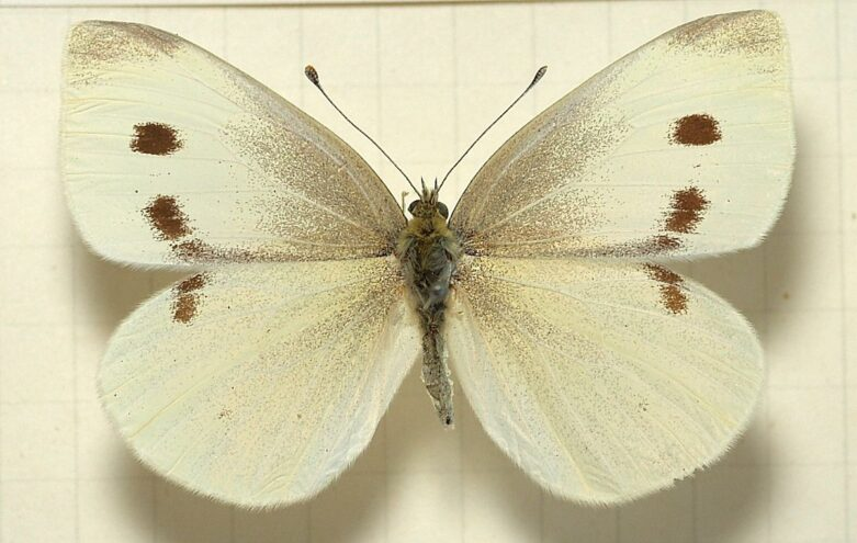 white cabbage butterfly identify