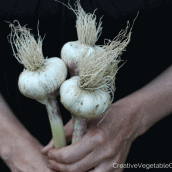 Eat garlic all year round! Harvesting and drying garlic for storage