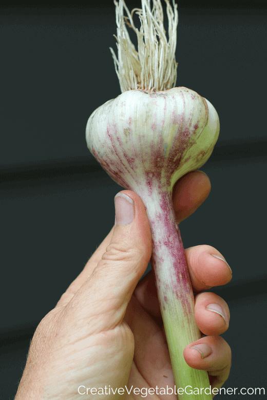 harvesting and drying garlic