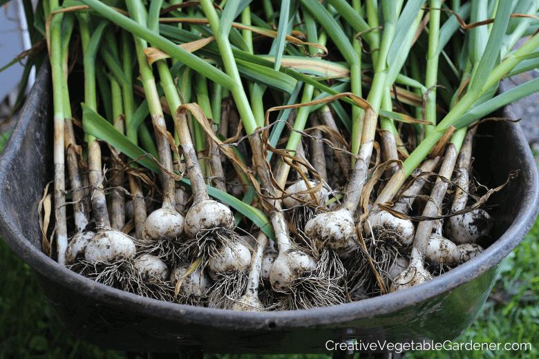 garlic harvest in garden
