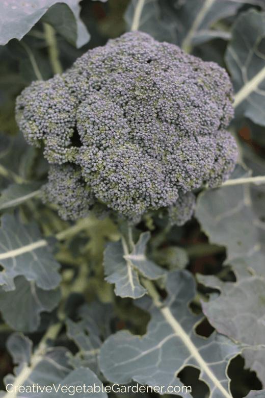 green worms on broccoli