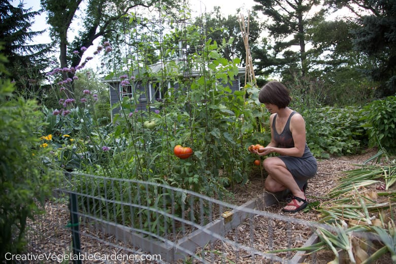 harvesting tomatoes from the garden tips for organic gardening