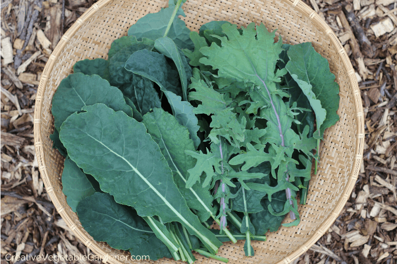 kale harvest for freezing