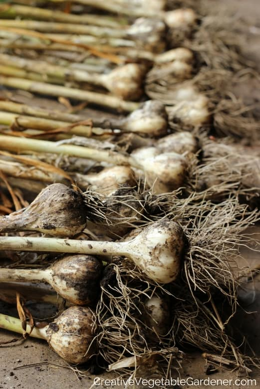 How to grow garlic in your garden