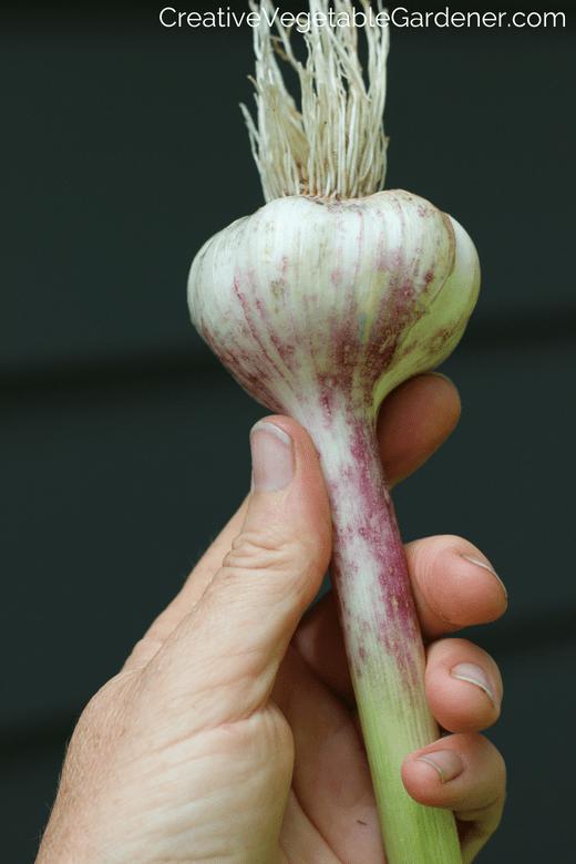 grow your own garlic in the garden