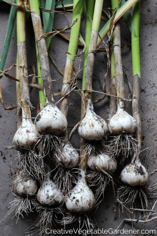 garlic from the garden