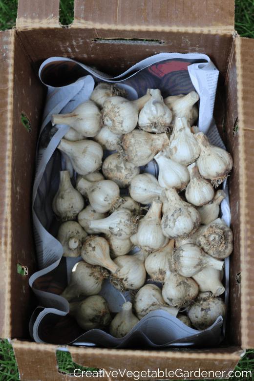 garden garlic ready for storage